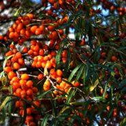 Rakytníkový olej a jeho použití